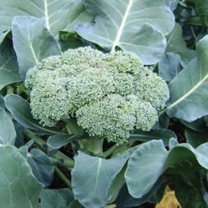 calabrese-green-sprouting-broccoli-seeds-300x300 (1)