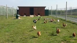 Uova-di-galline-felici