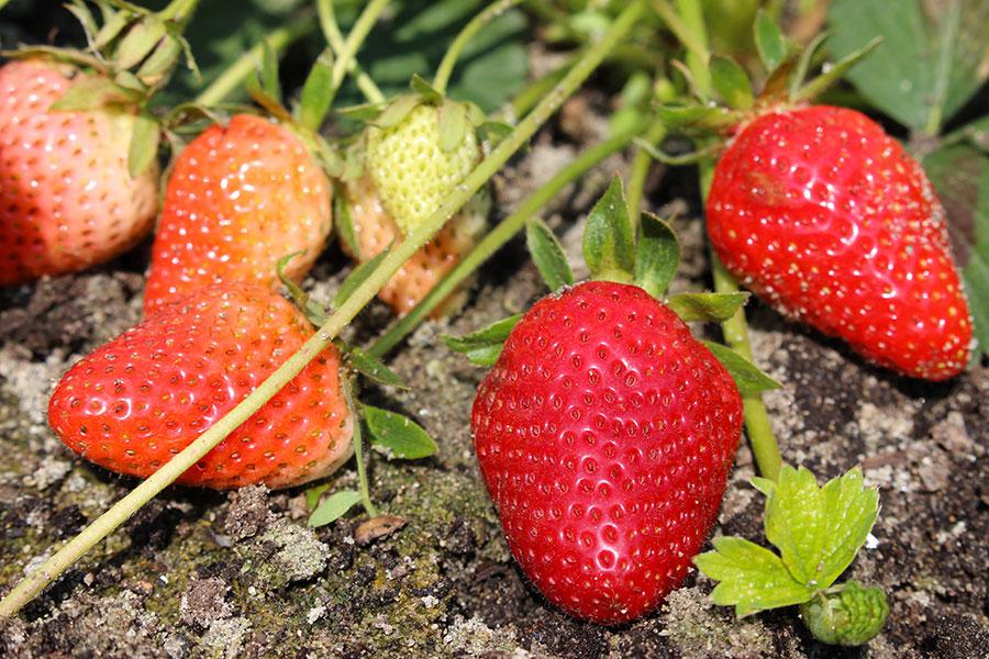 I nostri prodotti mele e ortaggi biologici ambroso - Mele fuji coltivazione ...