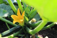 zucchina-2
